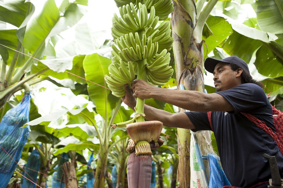 Chiquita banana farm 2