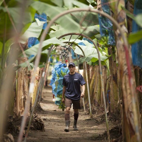 Chiquita bananas on the farm: it's all about sustainability